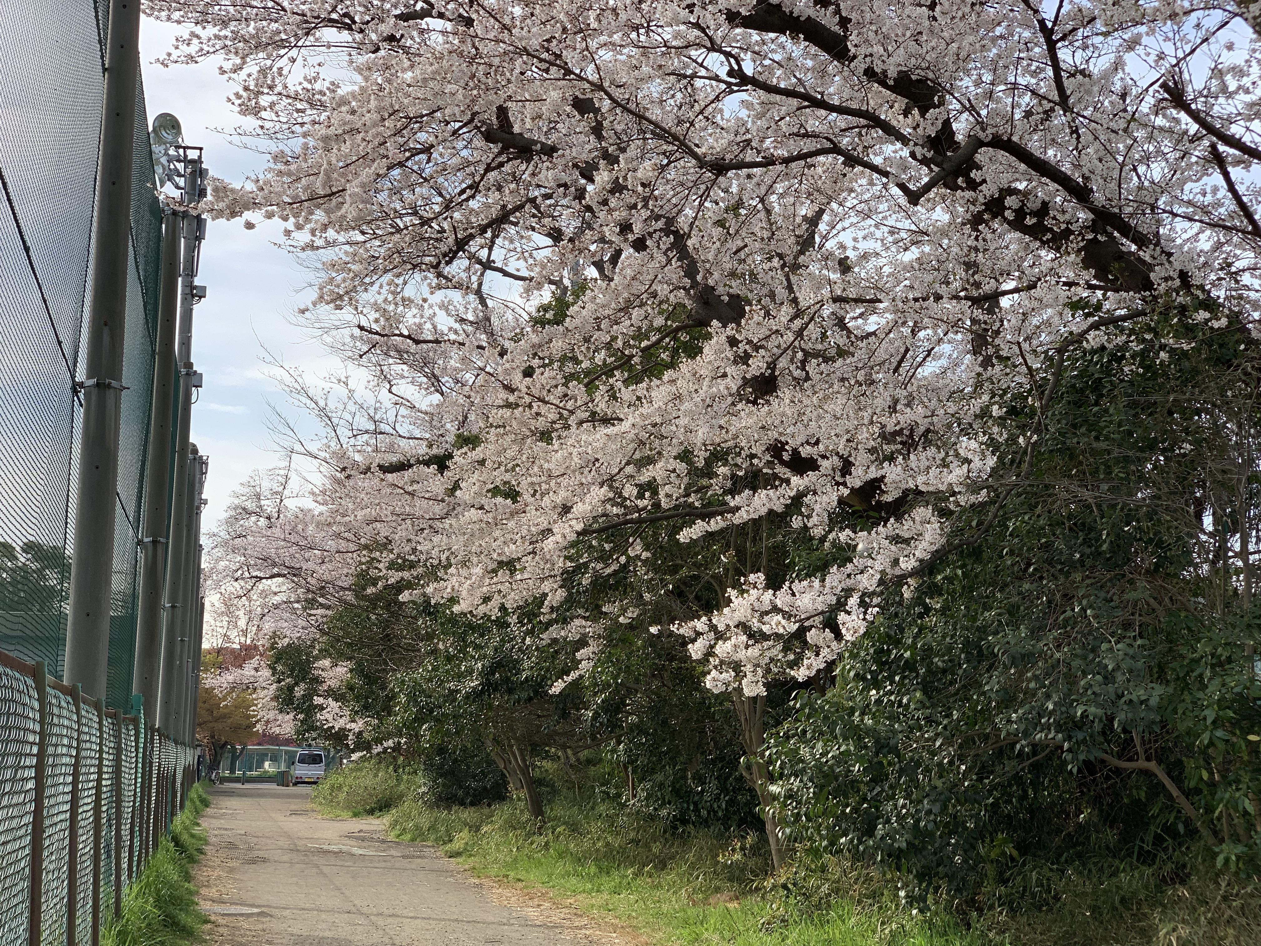 下田グラウンドの桜